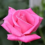 Own-Root One Gallon Perfume Delight Hybrid Tea Rose by Heirloom Roses