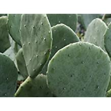 3 Pads - Spineless Thornless Edible Nopales Prickly Pear Cactus - Fast Growing!!