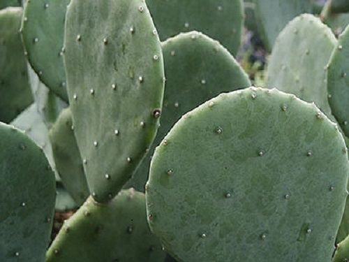 4 Spineless Prickly Pear Cactus Cuttings - No Thorns or Stickers