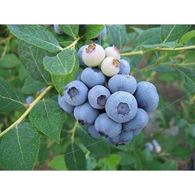 Legacy Blueberry Bush - Edible Berry - Hardy Perennial - 1 Gallon Pot - 1 Plant from Grandiosy Farm : Garden & Outdoor