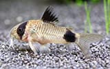 ricklowdis 5 Panda Cory Catfish Live Freshwater Aquarium Fish