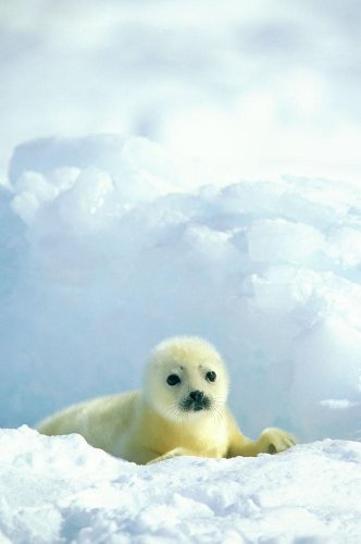 Wallmonkeys A  Newborn Harp Seal Pup in a Thin White Coat Stares Directly at the Camera Peel and Stick Wall Decals WM49632 (24 in H x 16 in W)