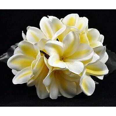 "AchmadAnam - 8-10"" CuttingExotic Thailand White and Yellow Plumeria Plant - Frangipani : Garden & Outdoor"