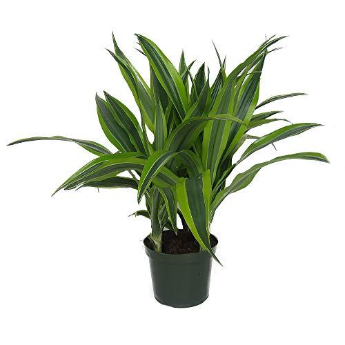 AMERICAN PLANT EXCHANGE Striped Dracaena Lemon Lime Indoor/Outdoor Live Plant 6 1 Gallon Pot Air Purifier