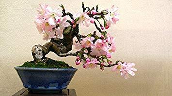 owering Cherry Blossom Bonsai Tree Sakura ()