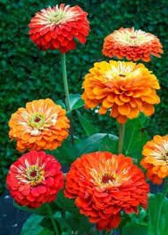 Zinnia Seeds - Oriole Mix
