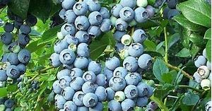 (1 Gallon) BRIGHTWELL Rabbiteye Blueberry Shrub- One Of The Most Reliable Blueberries.Good for Baking and Fresh Eating,