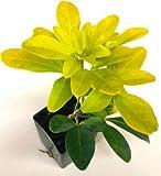 3 Strong Fragrant Choisya Ternata Live Plant