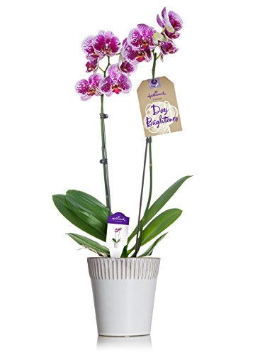 Hallmark Flowers Orchid, Pink Double Spike in 5-Inch White Striped Rim Ceramic Container