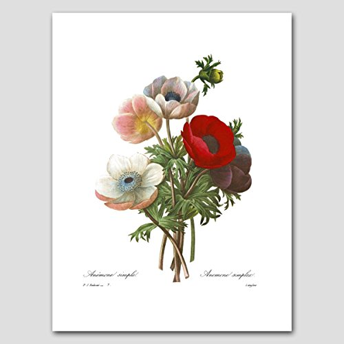 Poppy Flower Art (Botanical Home Illustration, Redoute Wall Decor) Garden Artwork Print - Unframed