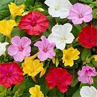 Akşam Sefası Çiçeği Tohumu 25 Adet