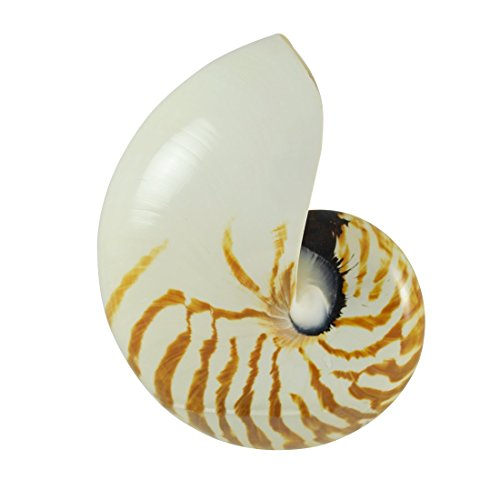 (The Seashell Company Nautilus Decorative Shell - Polished 6-7