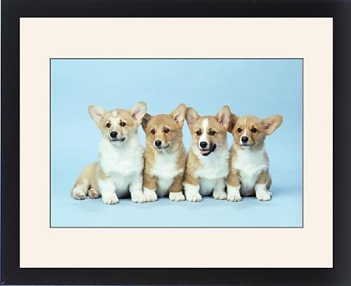 Framed Print of Pembroke Corgi DOGS - x four by Prints Prints Prints