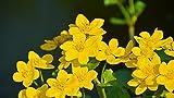 "Photography Poster - Caltha Palustris, Plant, Nature, 24""x14"""