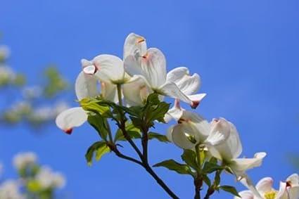 Amazon flowering white dogwood cornus florida 2 3 lot of 10 flowering white dogwood cornus florida 2 3 lot of 10 mightylinksfo