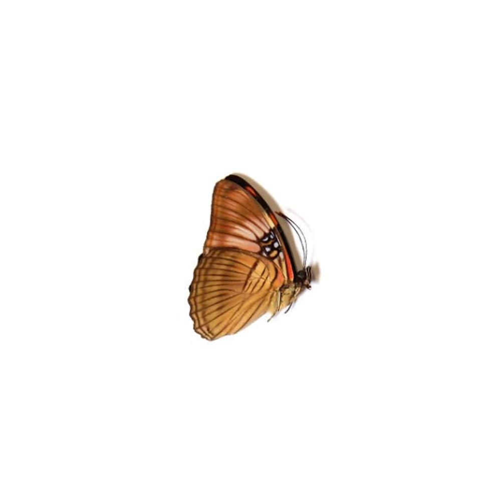 Adelpha mesentina Geo Evolution Real Taxidermy Butterfly Mesentina Sister Preserved Specimen