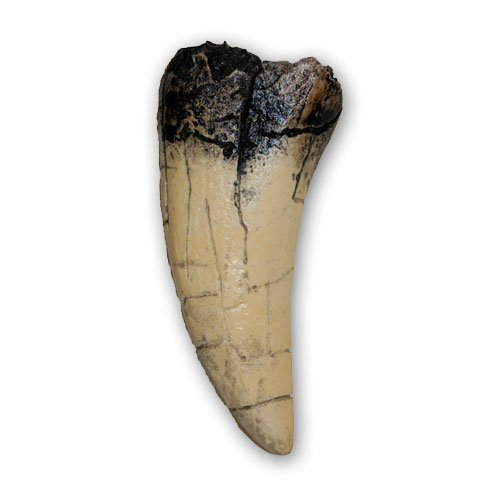 Prehistoric Planet Store - Tyrannosaurus rex Tooth for sale  Delivered anywhere in USA