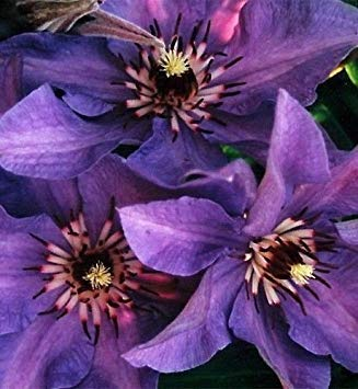 Clematis 'Blue Climador, (2 Bare Root/rhizome)- flowering Vine ! by Unknown