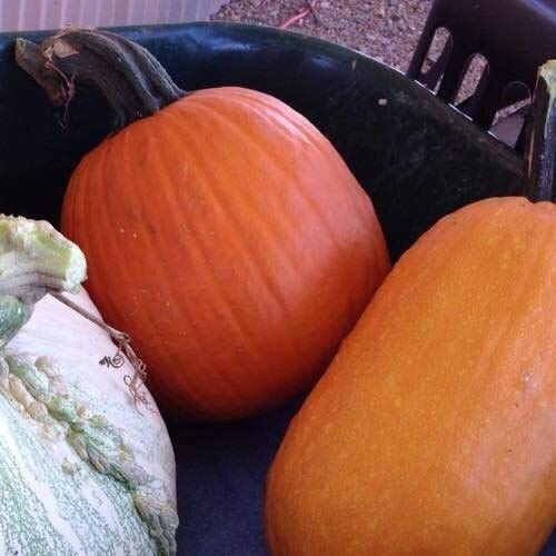 Orange Jack-o-Lantern Pumpkin Seeds, Organically Grown, 20 Seeds]()