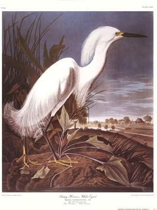 John James Audubon Snowy Heron Or White Egret Art Print Posters Prints