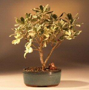 Bonsai Boy's Flowering Japanese Mock Orange Bonsai Tree - Variegated pittosporum tobira variegata