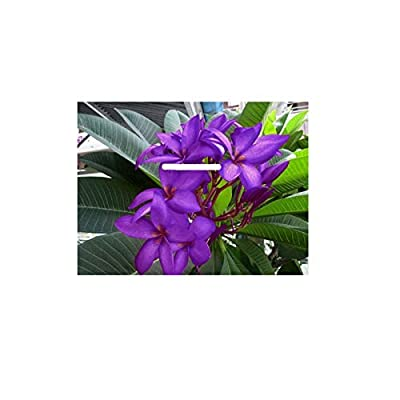 "Saudi Violet"" Fragrant PLUMERIA'S Cutting with Rooted 7-12 INCHES Registered Track Online 100% Guarantee SATISFICATION and … : Garden & Outdoor,"