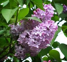 Syringa villosa, Late Lilac flowering shrub, live plant.