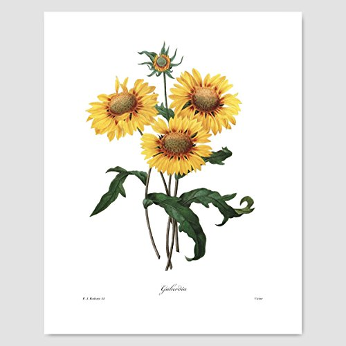 - Sunflower Art (Yellow Flower Print Botanical, Summer Wall Decor, Country Cottage Chic) Pierre Redoute – Unframed