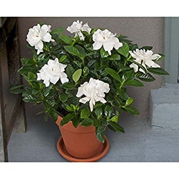Jasmine Herbal Plant 35 Seeds (Gardenia jasminoides) White (Flowers Of Japan)