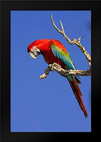 Brazil, Pantanal Red and Green Macaw Framed Art Print by Williams, -