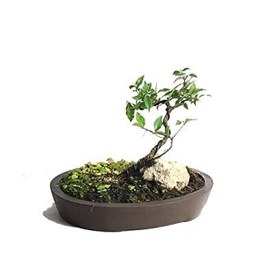 Dwarf Barbados Cherry miniature bonsai landscape : Grocery & Gourmet Food