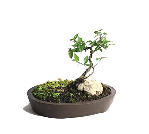 - Dwarf Barbados Cherry miniature bonsai landscape