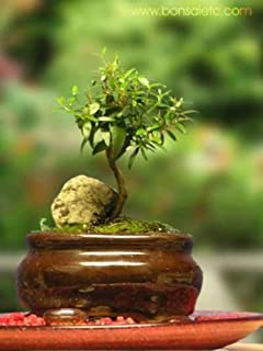 indoor beginners bonsai mini aromatic herbal bonsai tree for home or office tabletop bought bonsai tree