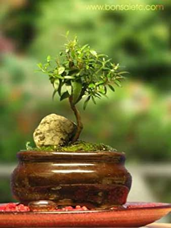 indoor beginners bonsai mini aromatic herbal bonsai tree for home or office tabletop bonsai tree office