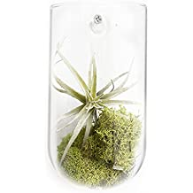 Chive - Hudson Modern and Versatile Glass Wall Mount Flower Vase, Air Plant, Tillandsia, Bromeliad, Succulent and Cactus Holder (1)