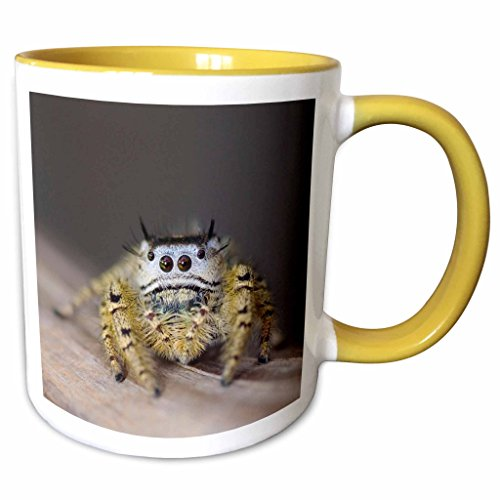 3dRose Danita Delimont - Spiders - Jumping Spider, New Braunfels, Hill Country Texas - NA02 RNU0169 - Rolf Nussbaumer - 11oz Two-Tone Yellow Mug - Outlet New Braunfels