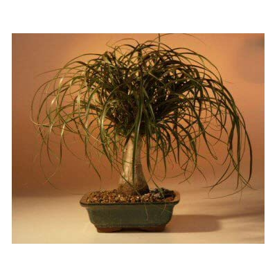 Bonsai Boy's Ponytail Palm - Large Beaucamea Recurvata : Bonsai Plants : Grocery & Gourmet Food