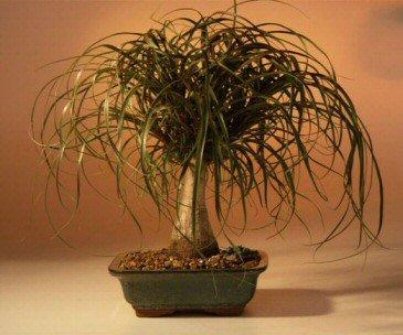 l Palm - Medium (Beaucamea Recurvata) ()
