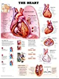 The Heart Anatomical Chart, Anatomical Chart Company Staff, 1587797011