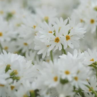 白花ミチノクコザクラ