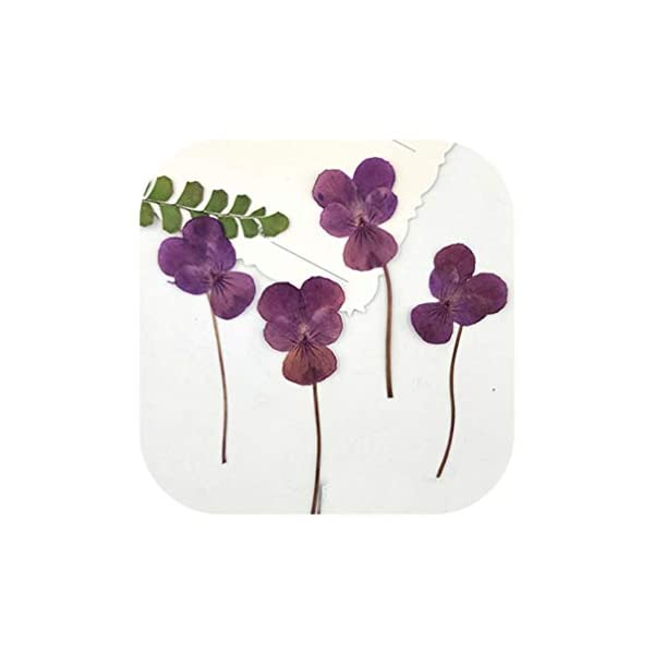 Yellow Pansy Dried Press Flowers Specimens for Kids Handmade Class 120 Pcs,Pink Purple On Stems