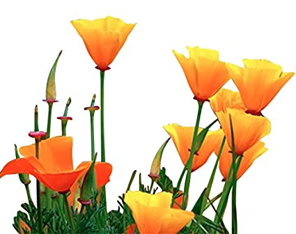 Amazon california poppy seeds 8 000 seeds state flower california poppy seeds 8000 seeds state flower golden orange poppy re seeds mightylinksfo