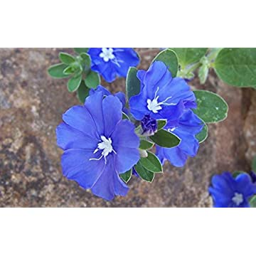 Image of Blue Daze - 5 Live 6 inch Plants - Evolvulus Glomerata Blue Daze - Beautiful Shrubby Perennial