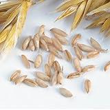 David's Garden Seeds Grain Crop Oats Hulless D7252YY (Green) Organic One Pound Package