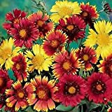 Gaillardia aristata Monarch Mix 2,000 Seeds
