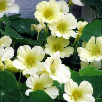 Outsidepride Nasturtium Moonlight - 200 Seeds