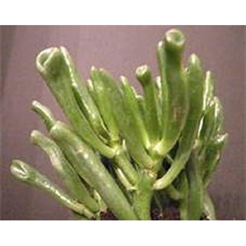 "Cheap ""Hobbit"" Jade Succulent Starter Plant for sale"