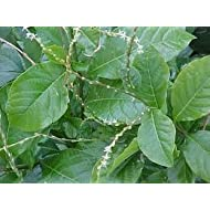 Anamu leaves/guinea Hen Leaves (8 Oz)