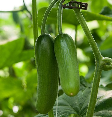 David's Garden Seeds Cucumber Pickling Iznik (Seedless) (Green) 25 Hybrid Seeds