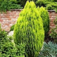 New Arborvitae Tree Shrub Bush Evergreen , (Arborvitae Occidentalis) or (Thuja Occidentalis) , 150 Seeds !